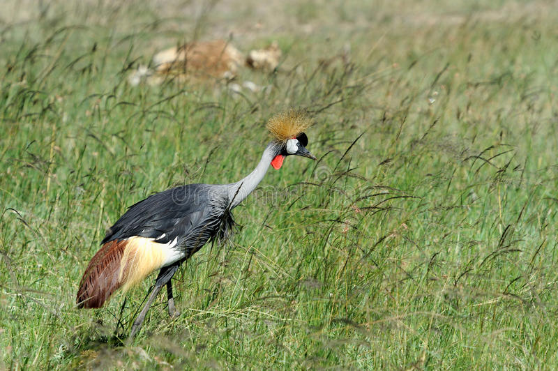 Crowned crane. In the National Reserve of Africa, Kenya stock image
