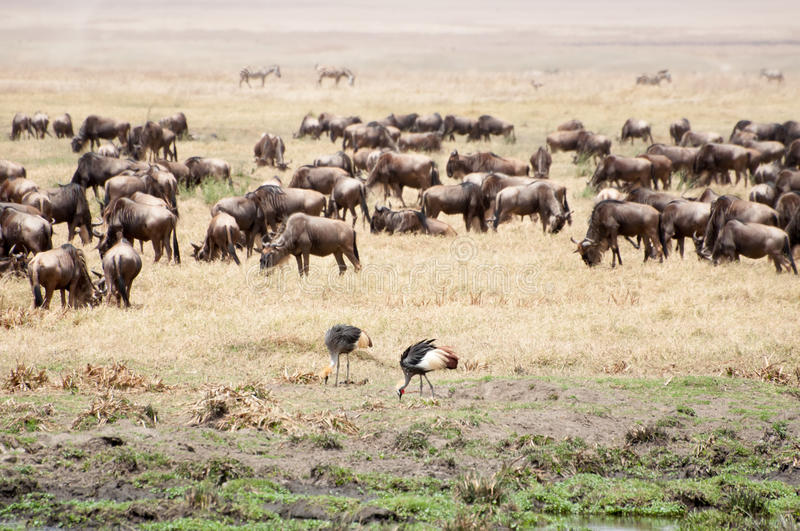 Crowned cranes and buffalo herd. Two crowned cranes walk along the grassland of the Ngorongoro Crater while looking for insects to feed on. Not far behind them stock photos