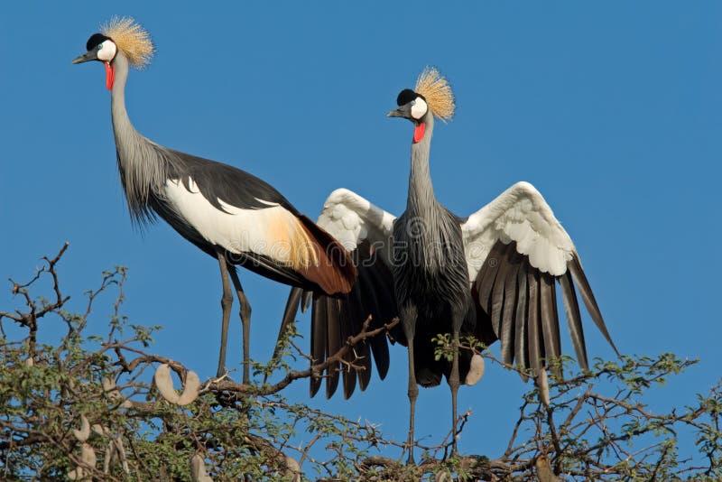 Crowned cranes displaying royalty free stock image