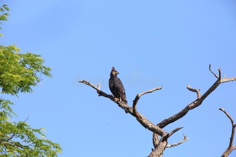 Crowned eagle. Stephanoaetus coronatus in Zambia stock images