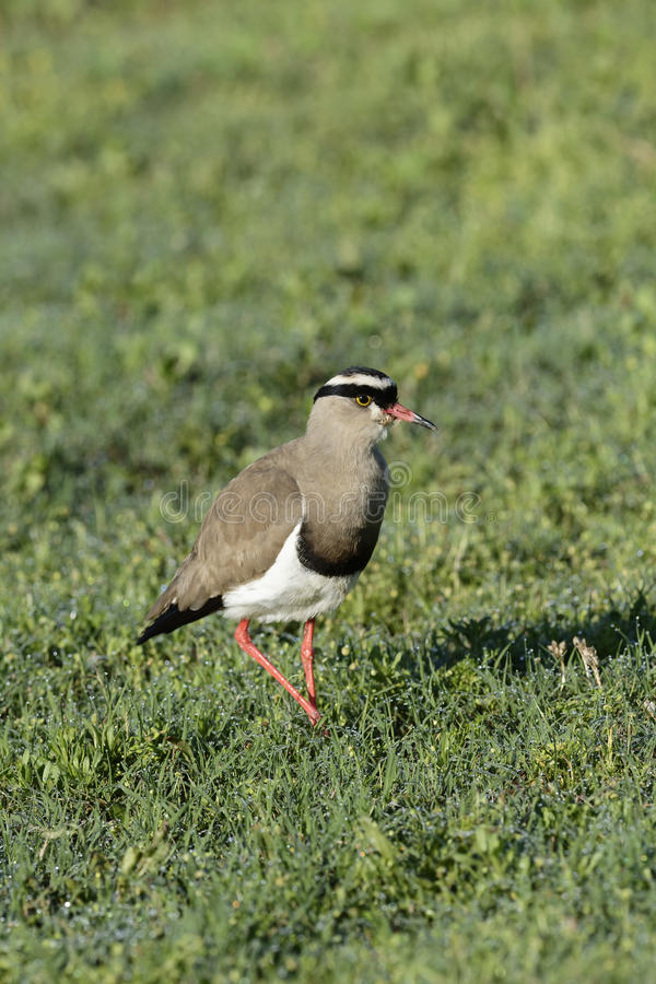 Crowned Lapwing, Addo Elephant National Park. Eastern Cape, South Africa royalty free stock images
