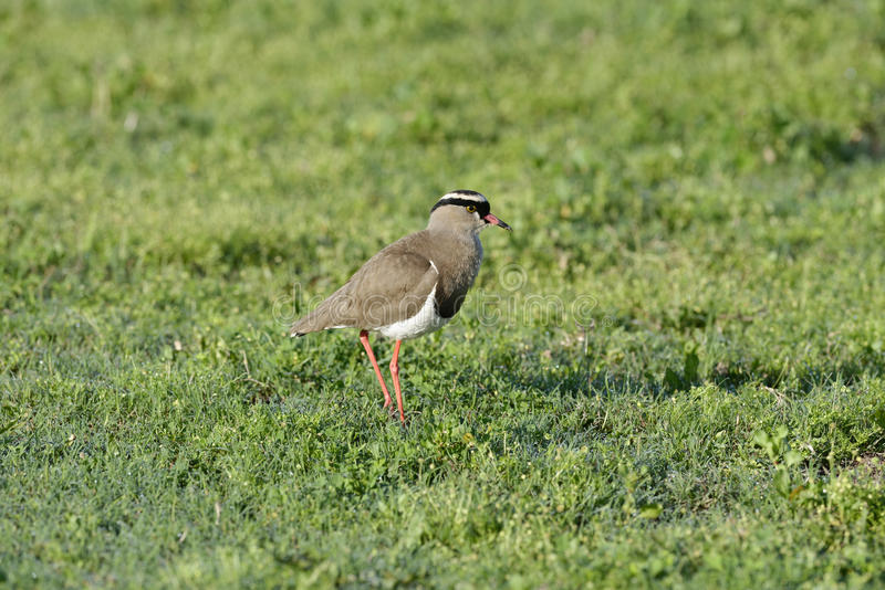 Crowned Lapwing, Addo Elephant National Park. Eastern Cape, South Africa stock image