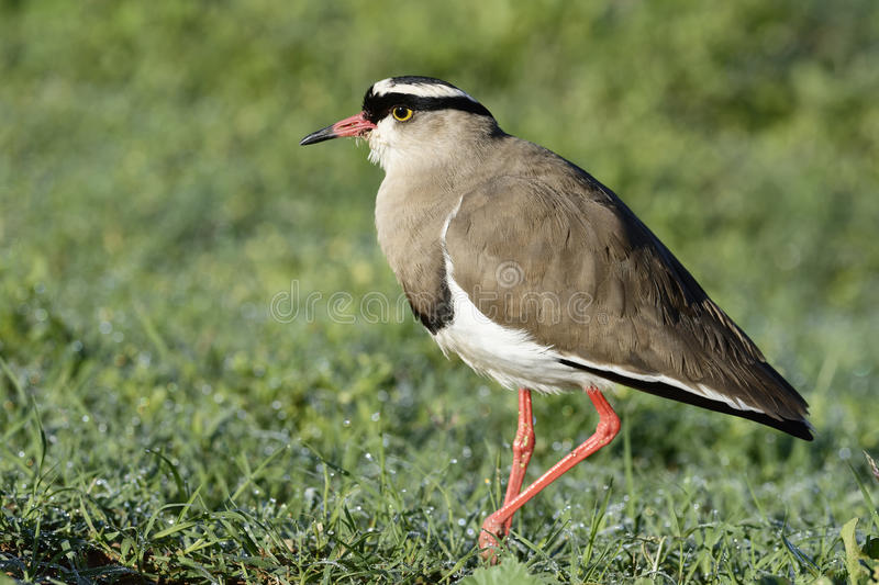 Crowned Lapwing, Addo Elephant National Park. Eastern Cape, South Africa royalty free stock photo