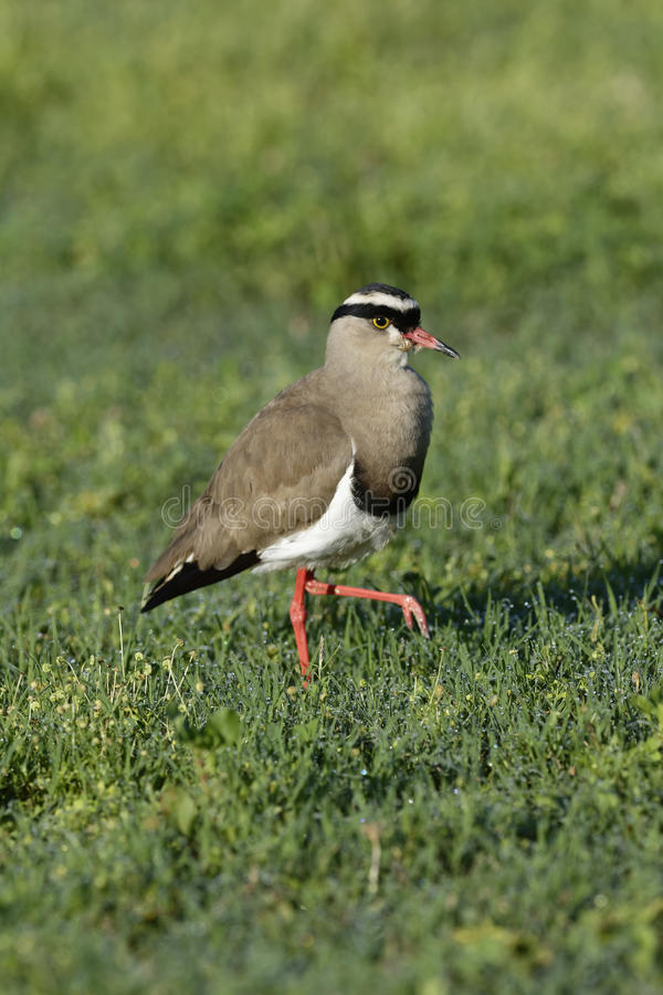 Crowned Lapwing, Addo Elephant National Park. Eastern Cape, South Africa royalty free stock photography