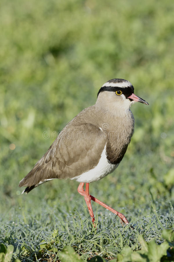 Crowned Lapwing, Addo Elephant National Park. Eastern Cape, South Africa royalty free stock photos