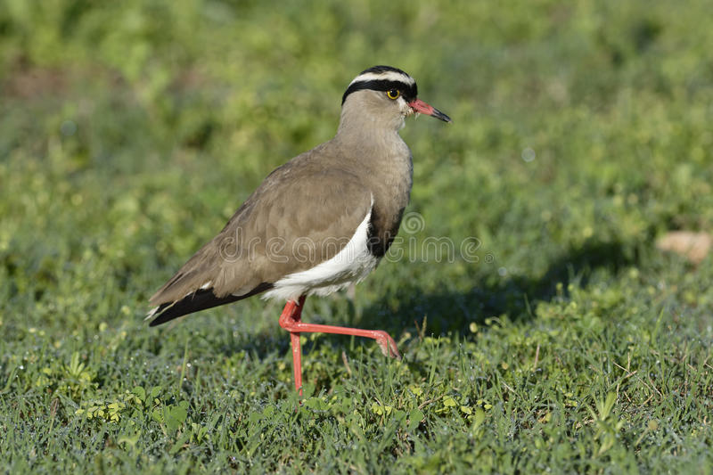 Crowned Lapwing, Addo Elephant National Park. Eastern Cape, South Africa stock images