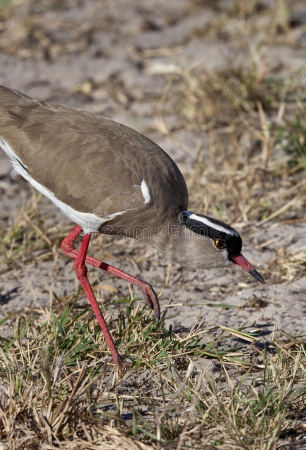 Download Crowned Lapwing - Botswana Royalty Free Stock Photography - Image: 17305007