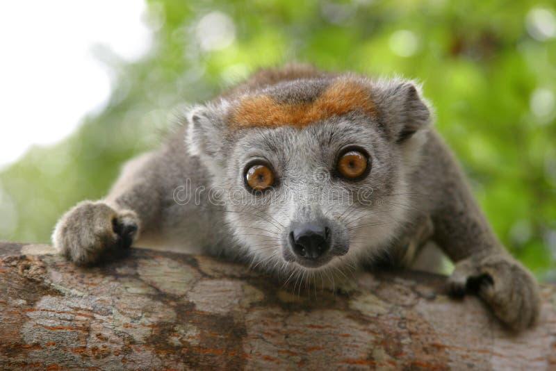 Crowned lemur royalty free stock photo