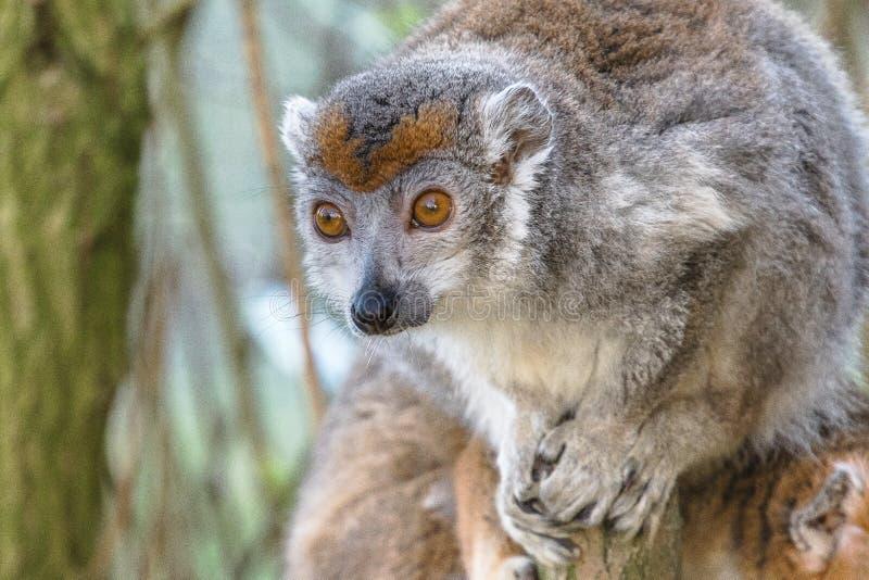 Crowned lemur 2016-01-08-00847 stock photos