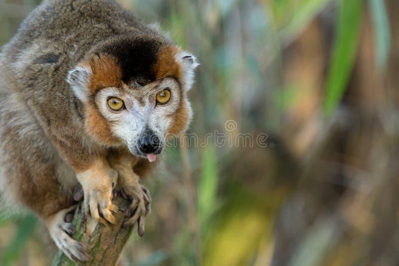 Crowned lemur 2016-01-08-00776 stock photos