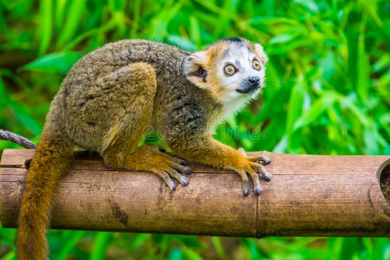 Crowned lemur in closeup, Cute monkey, Endangered primate specie from Madagascar stock photography