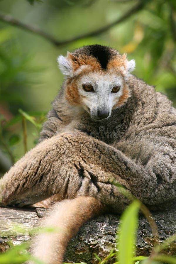 Crowned lemur (Eulemur coronatus) royalty free stock images