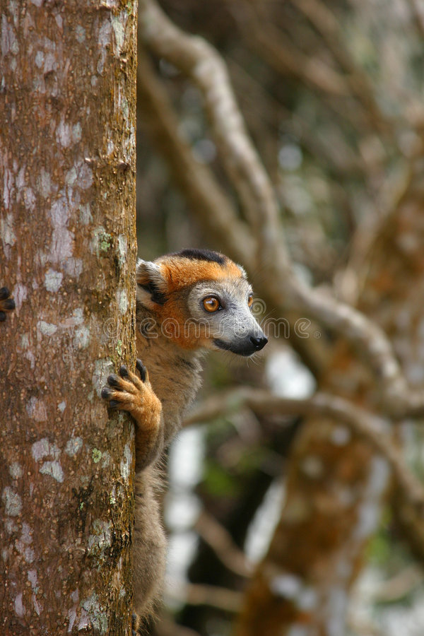 Crowned lemur male royalty free stock photos
