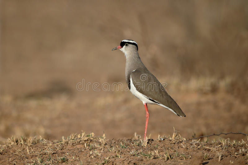 Crowned plover, Vanellus coronatus. Single bird on ground, South Africa, August 2015 stock photo