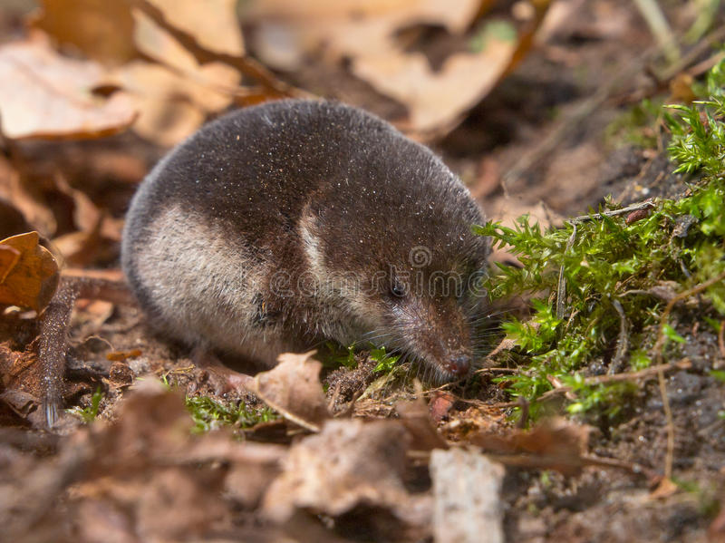 Download Crowned shrew stock photo. Image of habitat, fluffy, forest - 25448590