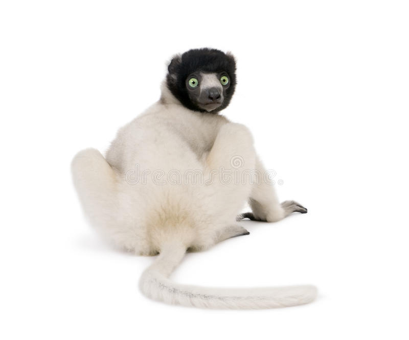 Crowned Sifaka against white background stock photography