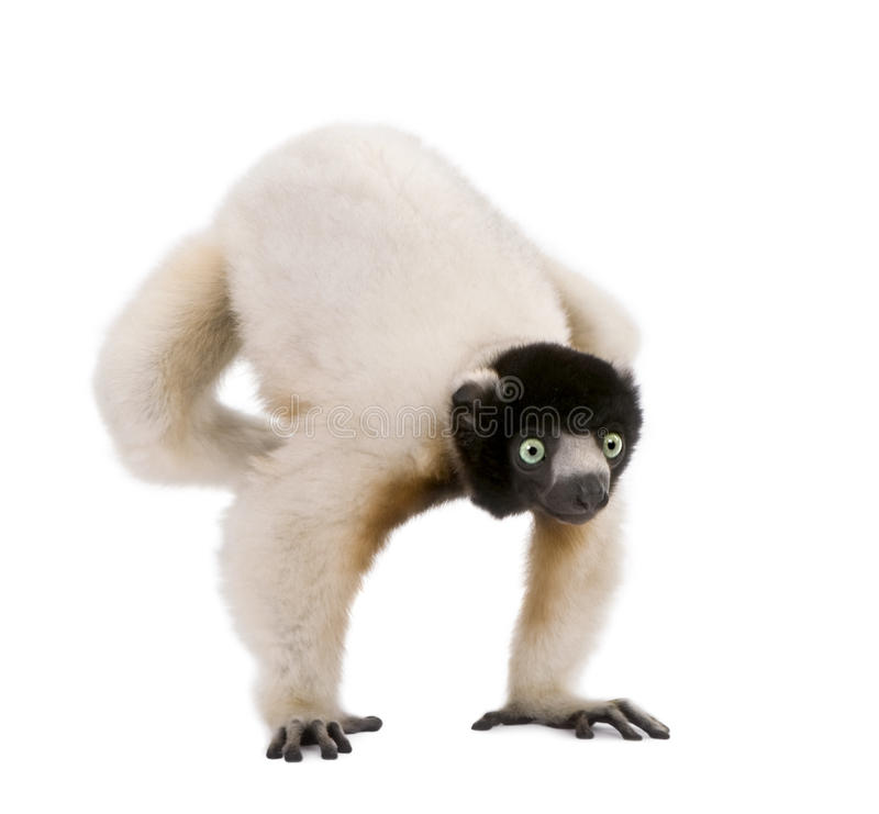 Crowned Sifaka in front of a white background stock images