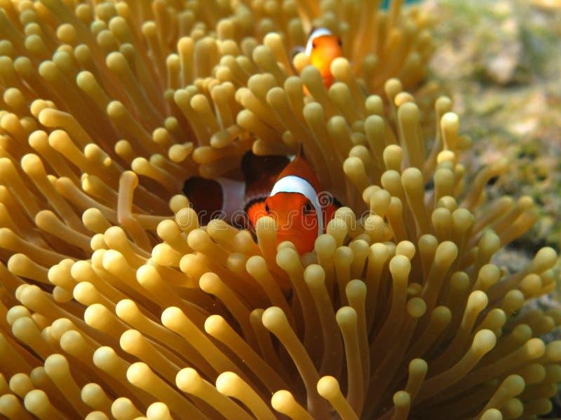 Crownfish或Anemonefish,知名作为Nemo,在海葵 库存照片