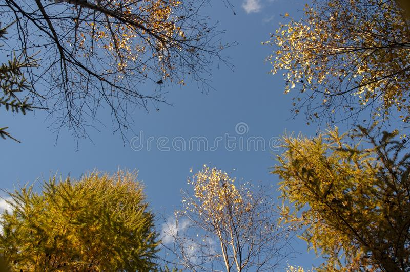 Crowns of colorful trees seen from below. Blue sky. stock photo