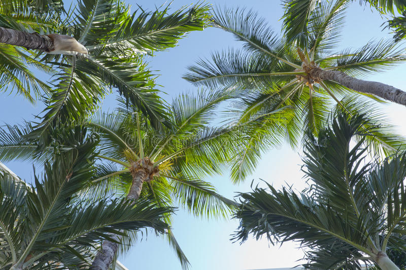 Crowns of Manila Palms royalty free stock images