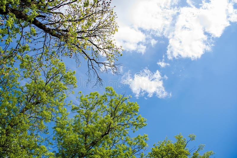 Crowns of trees and sky with a light cloud. Crowns of trees and blue sky with a light cloud stock image