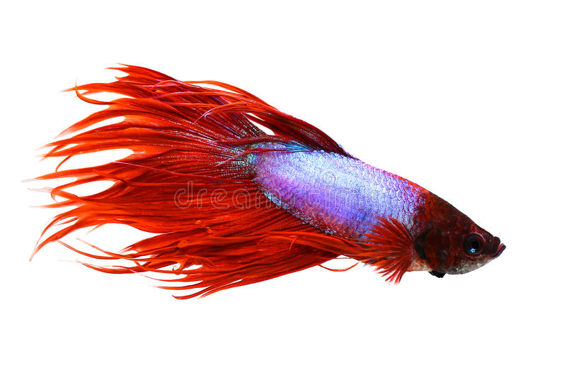 Crowntail αρσενικά ψάρια ενυδρείων πάλης betta splendens σιαμέζα στοκ φωτογραφίες