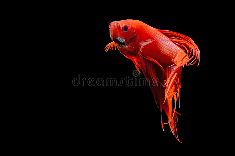 Crowntial Betta isolated on black stock photography