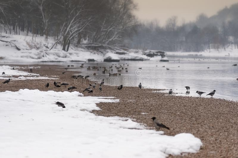 Crows on the bank of the frozen river winter landscape royalty free stock image