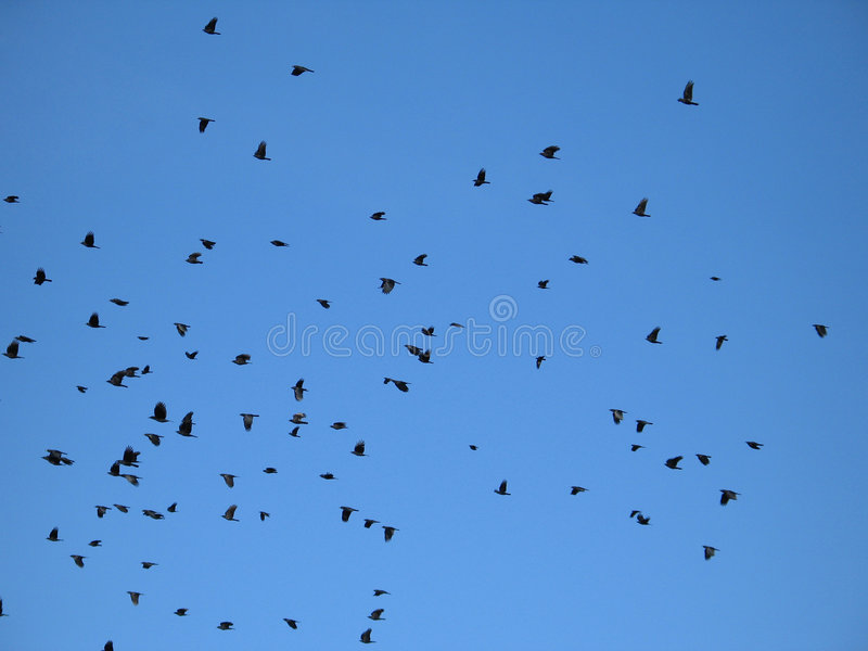 Download Crows in the blue sky stock photo. Image of crowd, destination - 5568982