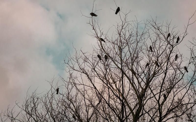 Crows and daws on a dead tree stock photo