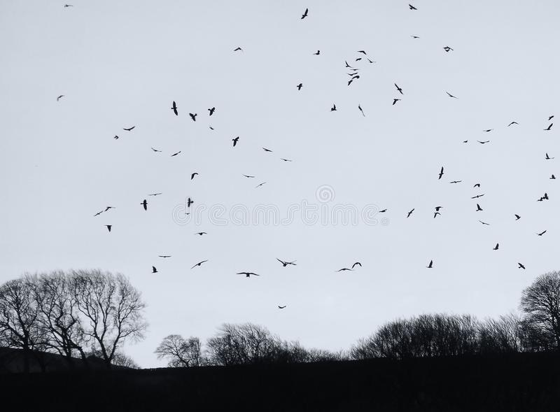 Crows flocking over a dark winter evening sky with bare trees in silhouette. A mass of crows flocking over a dark winter evening sky with black bare trees in royalty free stock images