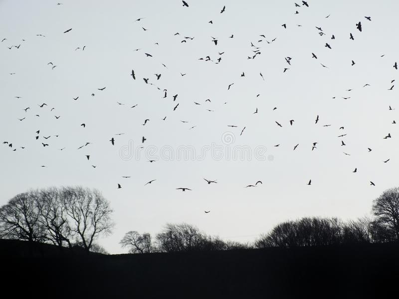 Crows flocking over winter forest trees at twilight stock photos