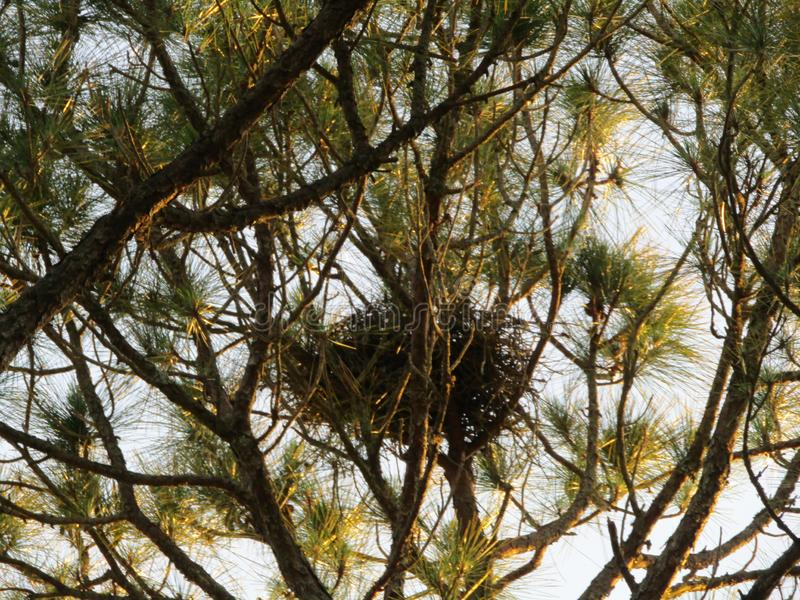 Crows nest high in tree stock image