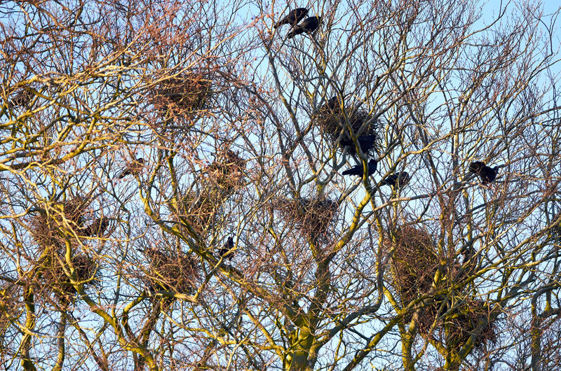 Crows nesting. A colony of crows nesting in treetops of old oak and beech trees stock photos