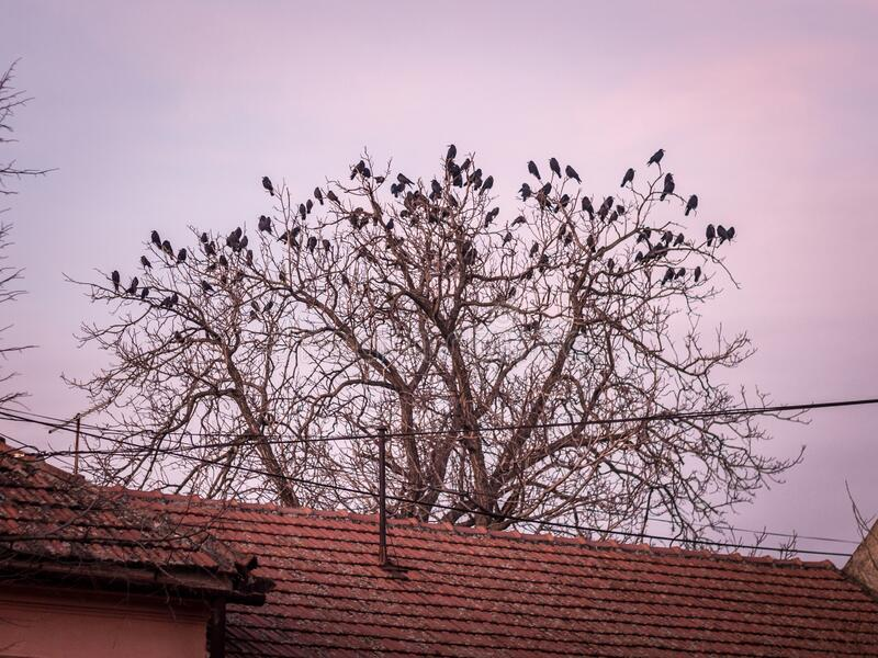 Crows and ravens nesting and standing on a tree in winter, with no leafs. royalty free stock image