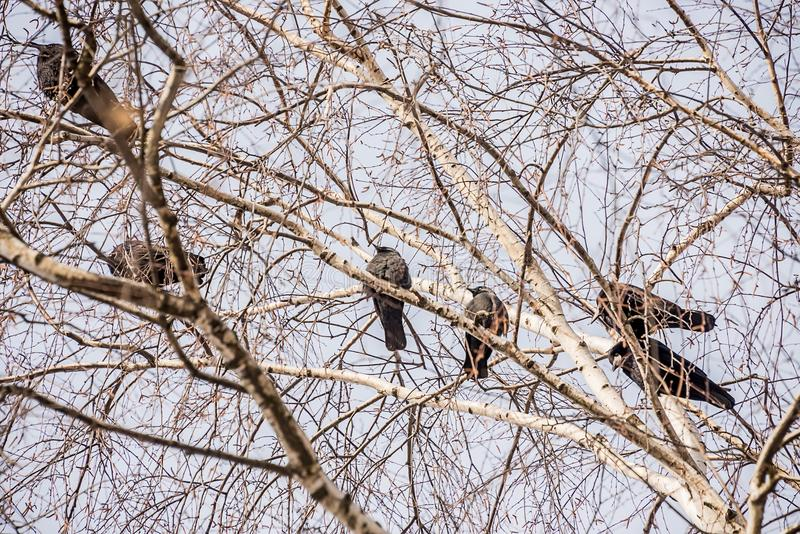 Crows, rooks on a branch stock images