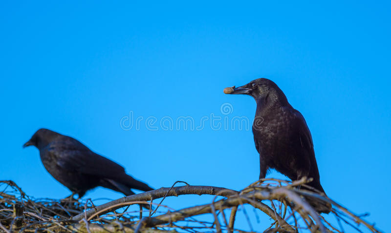 Crows share the peanut royalty free stock images