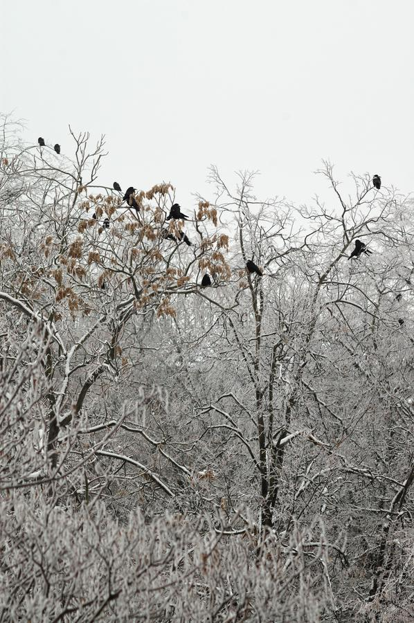 Crows sit on the treetops in winter royalty free stock photography