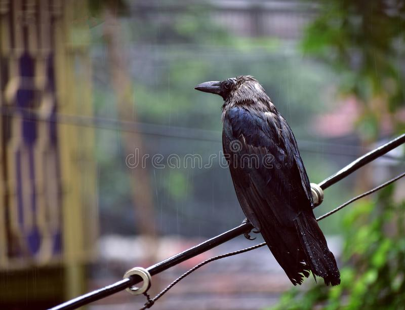 Crows standing in the rain on the branch royalty free stock images