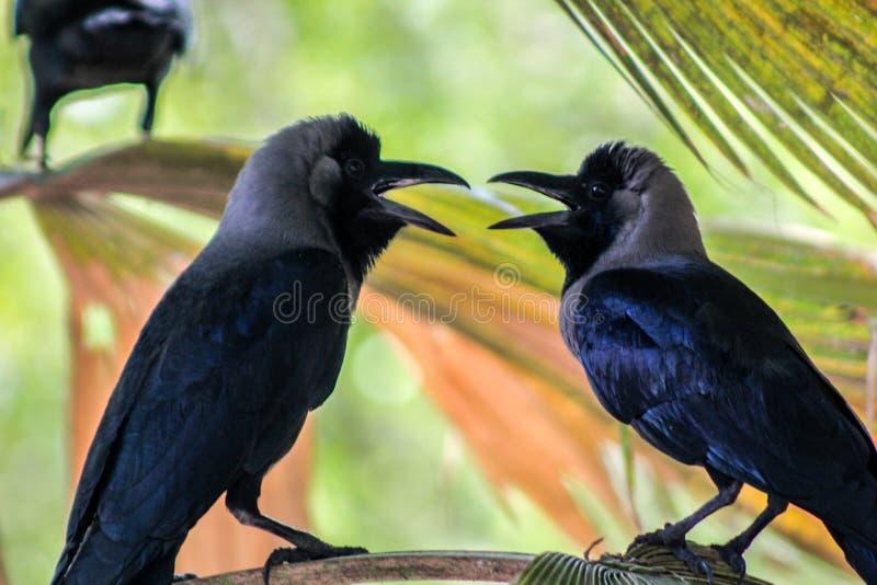Crows talking stock image