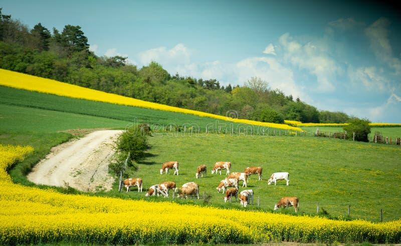 Crowz frôlant l'herbe de nourriture sur le champ dans la scène de calme de la France photographie stock