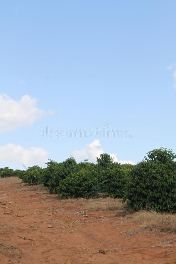 Coffee plantation Highway Agnésio Carvalho de Souza MG-335 Minas Gerais Brazil stock images