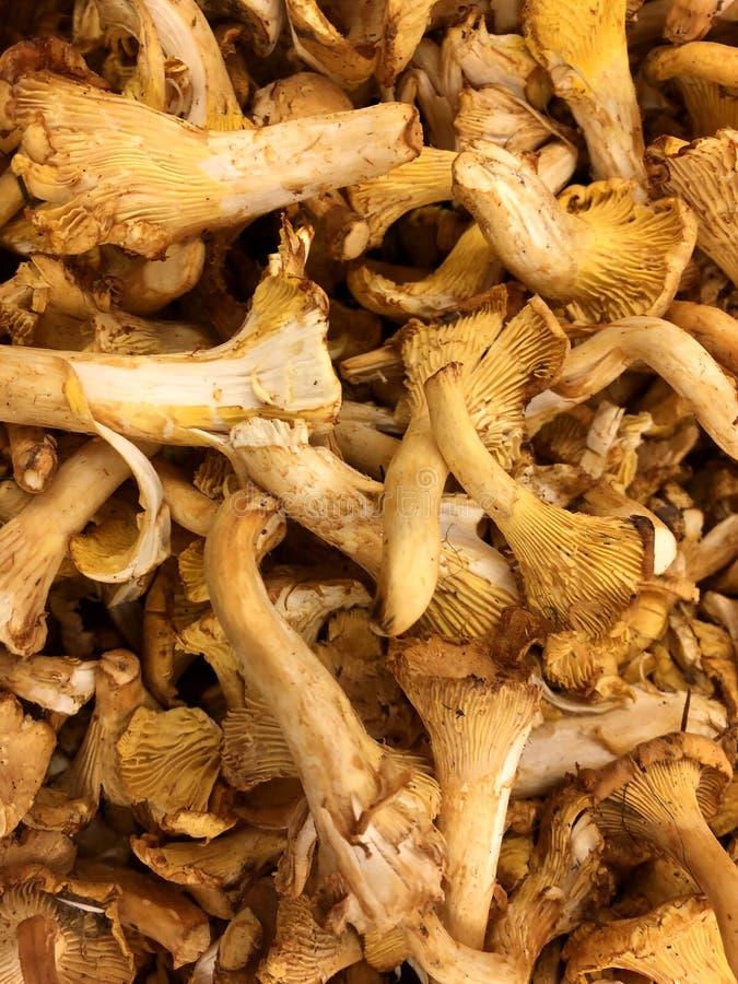 Cru, cogumelos do porcini imagem de stock royalty free