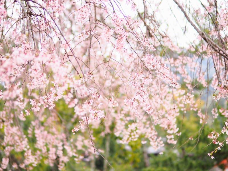 Cru de doux et de tache floue de saison de Sakura de fleurs de cerisier au printemps du Japon image stock