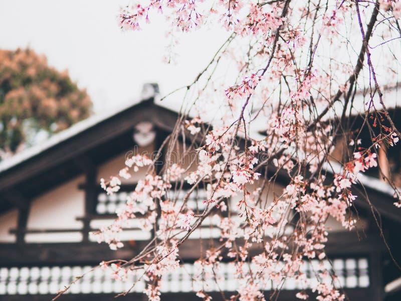 Cru de doux et de tache floue de saison de Sakura de fleurs de cerisier au printemps du Japon image libre de droits