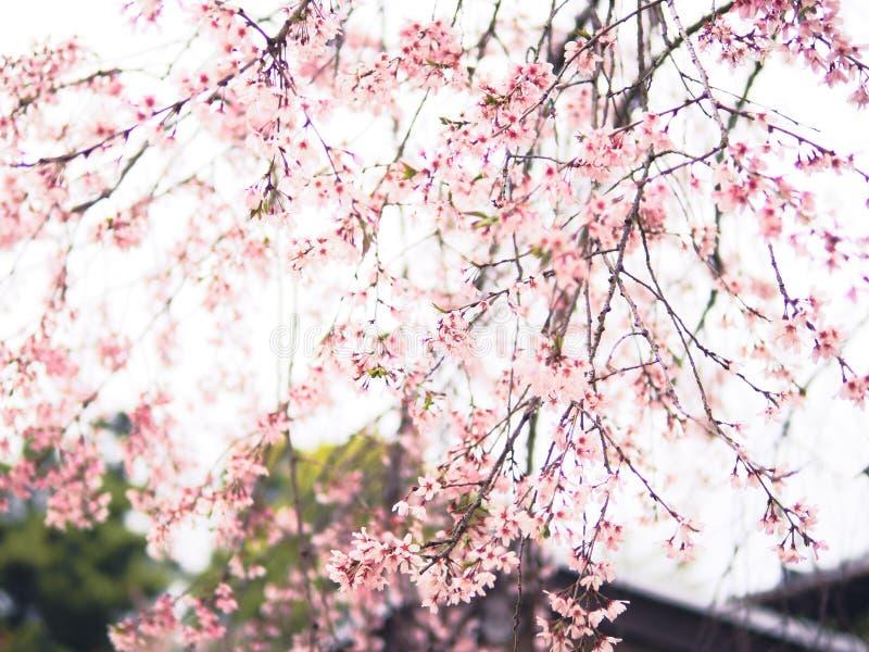 Cru de doux et de tache floue de saison de Sakura de fleurs de cerisier au printemps du Japon images stock