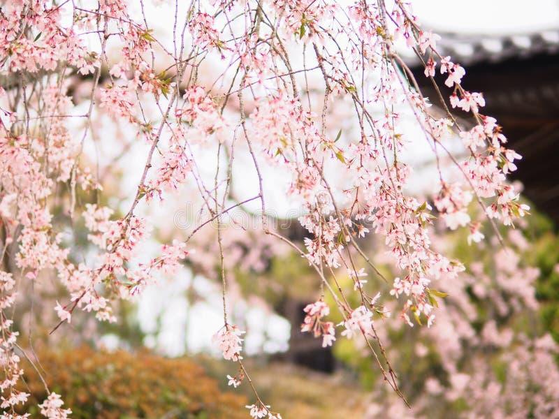 Cru de doux et de tache floue de saison de Sakura de fleurs de cerisier au printemps du Japon photo libre de droits