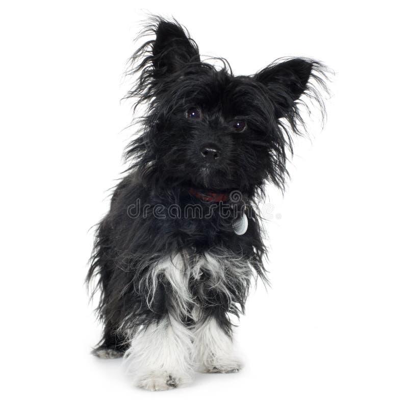 Cruce (7 meses) el terrier de Yorkshire y el papill fotos de archivo