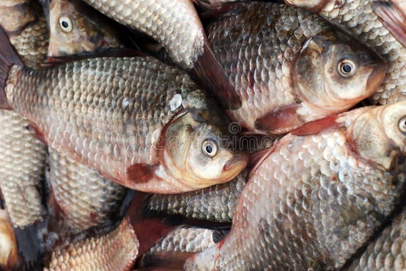 Crucian, свежее fish-1 стоковое фото