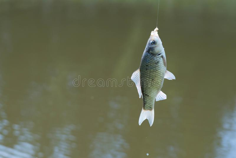 Crucian, carp fish on a hook royalty free stock photos